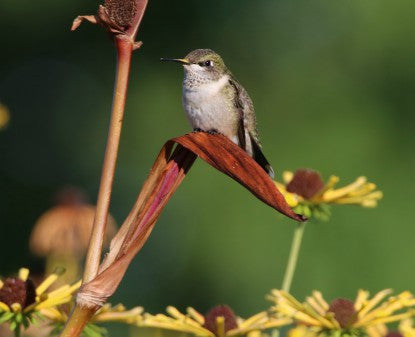 Hummingbird- Yellow Nose
