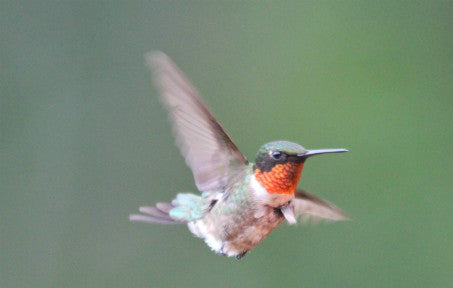 Hummer-Ruby-throated #3