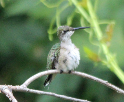 Hummer-Ruby-throated (female)
