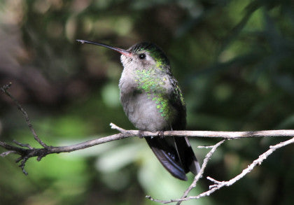 Hummingbird - Tucson - Mornign Sunlight