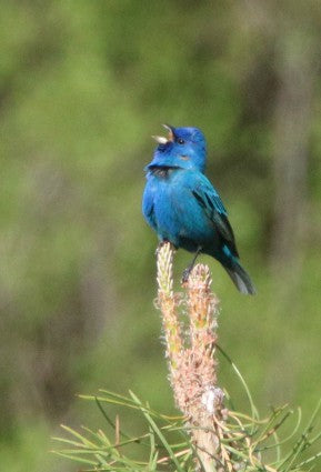 Indigo Bunting- Sing from the Highest Perch