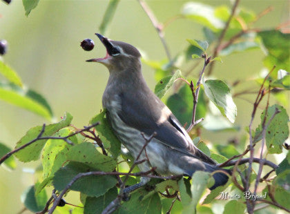 Cedar Waxwing - Hungry Juvie