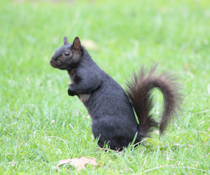 Squirrel - Negro