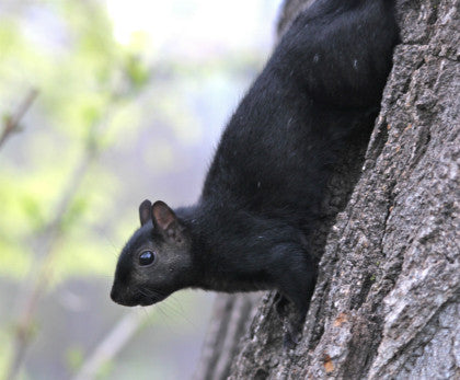 Black Squirrel - Head-rush