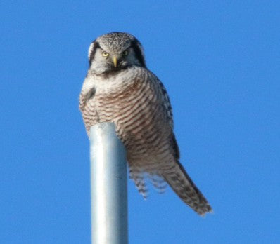 Owl -Northern Hawk Owl