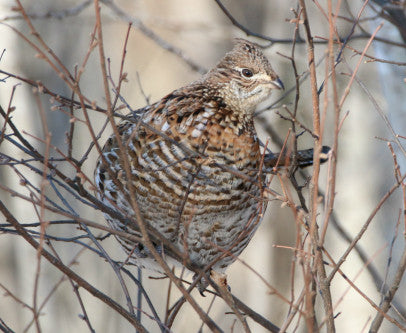Ruffed Grouse- Female