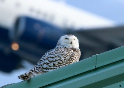 Owl - Snowy hanging out at the airport