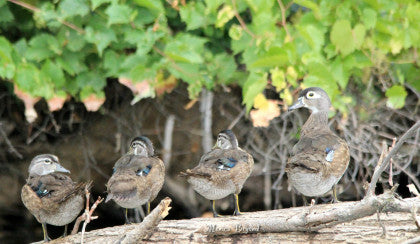 Wood-duck - Family