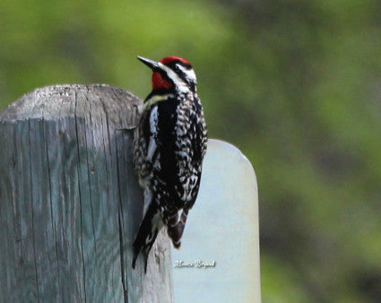 Woodpeckers- Yellow-bellied Sapsucker