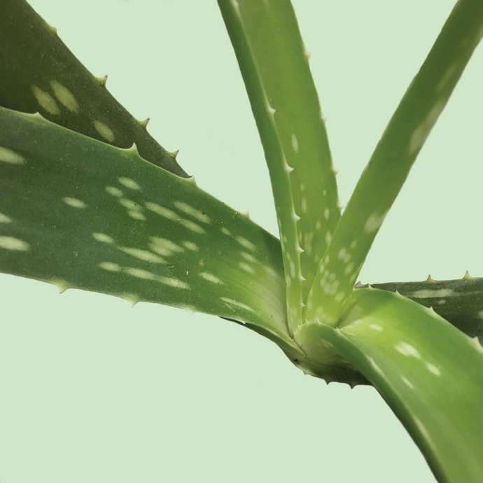 Top 5 Health Benefits of Drinking Aloe.