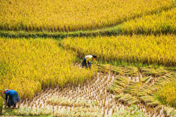 Vietnam Rice Field