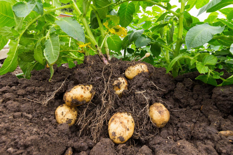 potatoes still planted in the ground