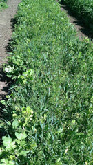 Cover crop fully grown from seed.