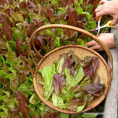 Lettuce being picked into a basket