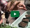 Potting Up Tomato Seedlings