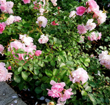 An Angel Wings miniature rose bush with light pink blossoms - Renee's Garden