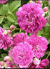 Large pink double blossoms on the Angel Wings miniature rose bush - Renee's Garden