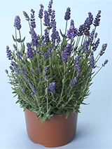 French Perfume lavender in a small nursery pot - Renee's Garden