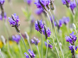 A close-up of Fernleaf lavender flowers growing on the bush - Renee's Garden