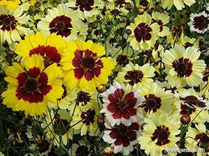 Incredible Coreopsis