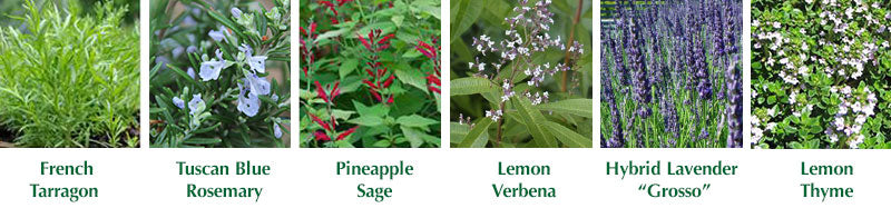 Collage of different culinary herbs that are available