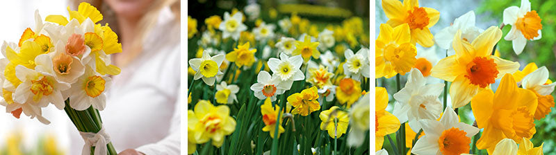 Collage of daffodils, in bouquet and growing
