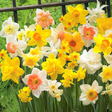 Daffodil mix blooming in the garden