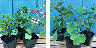 Grown scented geranium plants before they ship