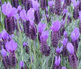 A close up of Spanish Lavender flowers on the bush - Renee's Garden