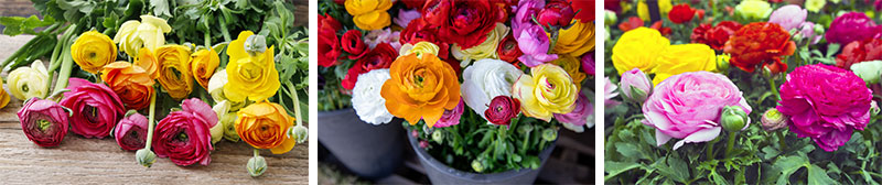 Collage of various ranunculus colors