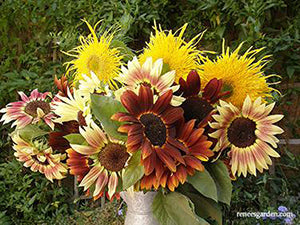 Sun Samba Sunflowers
