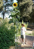 How to Grow the Biggest, Tallest Sunflowers: Tips from an ...