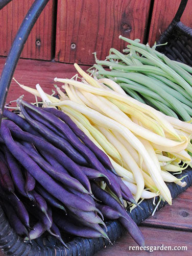 Green Yellow Amp Purple Tricolor Pole Beans Renee S