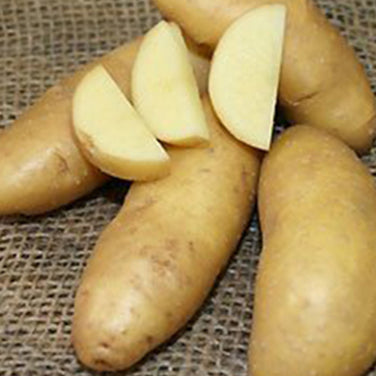 Heirloom Russian Banana Fingerlings