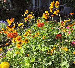 colorful carefree annual wildflowers scatter garden seeds renees garden seeds - Wildflower Garden