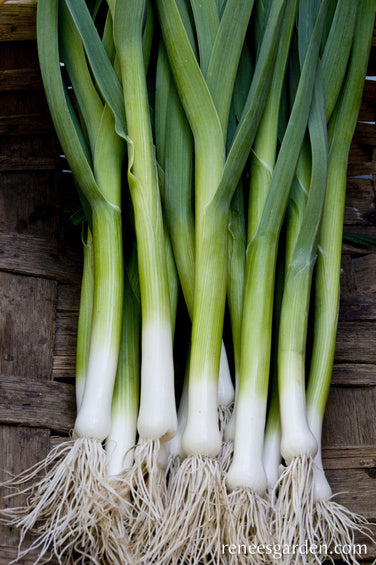 Primor French Baby Leeks Renee S Garden Seeds