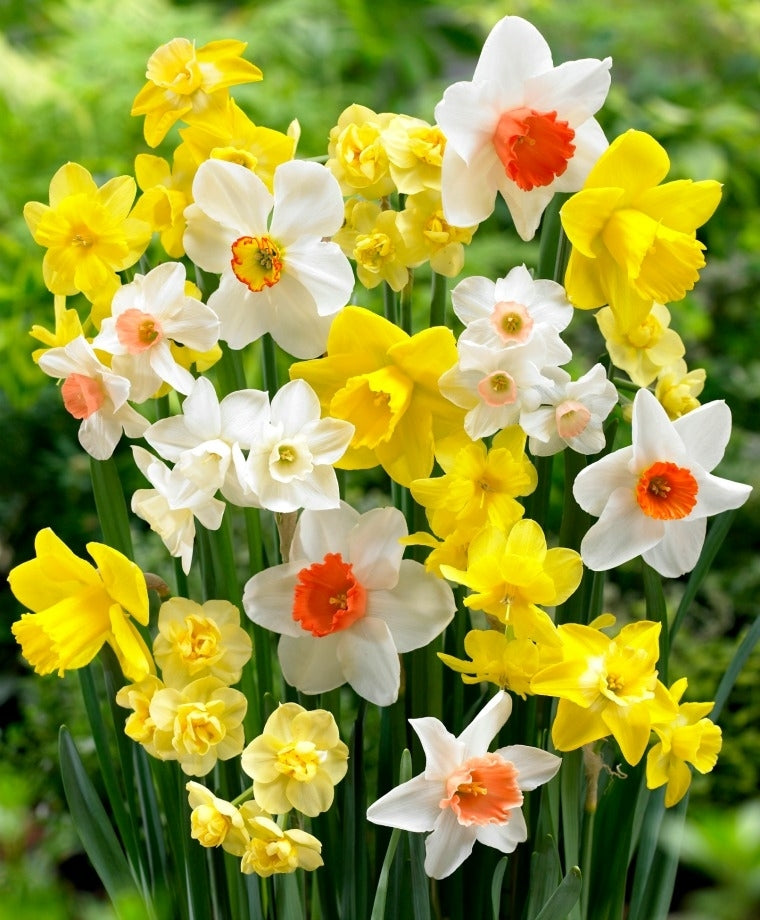 Narcissus Perfume Mix