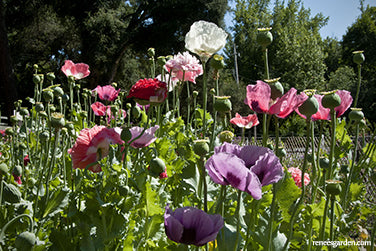 French flounce carnation flower poppies renees garden seeds french flounce carnation flower poppies renees garden seeds mightylinksfo