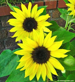 Junior container sunflowers renees garden seeds photos from our trial garden mightylinksfo Choice Image