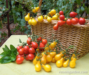 Red Amp Yellow Pear Heirloom Mini Tomatoes Renee S