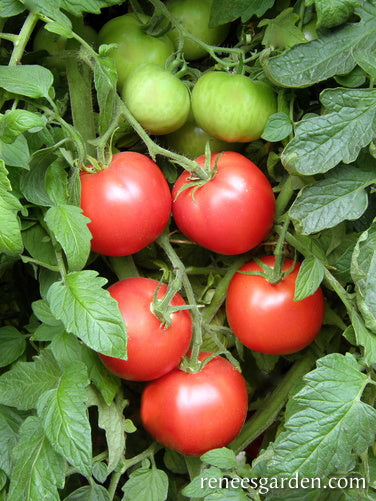 Crimson Carmello Top Flavor Tomato Renee S Garden Seeds