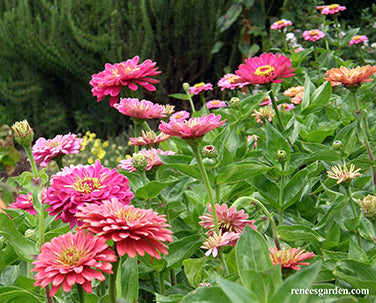 State Fair Gold Medal Heirloom Butterfly Zinnia Mix