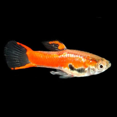 "Pareja Guppy Endler ""Red Chili"""