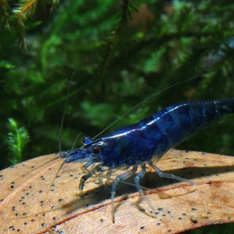 AQUAPLANTASMX - Neo. heteropoda - Blue Diamond - Camarones