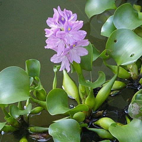 AQUAPLANTASMX - Eichhornia crassipes - Plantas