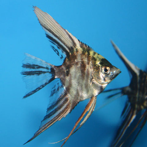 Angel Surtido md - Pterophyllum scalare