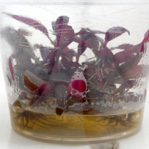 "Alternanthera reineckii ""Mini"" In Vitro"