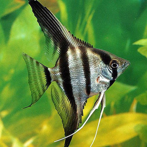 4 X  Angel Surtido md - Pterophyllum scalare