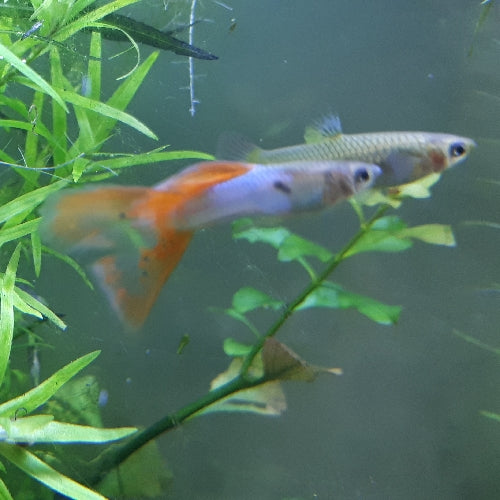Pareja Guppy Japan Blue Red Lyre Tail