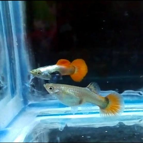 Pareja Guppy Platinum Red Dumbo
